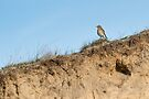 Northern wheatear on top of a dune by steppeland