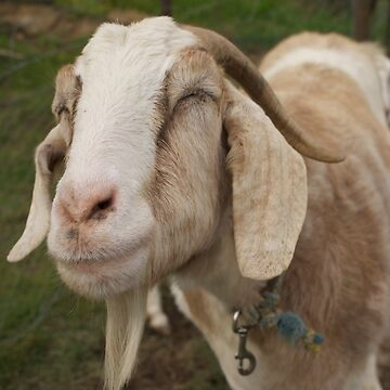 Smiling Goat by Ajmdc