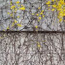Ivy and forsythia  by jihyelee