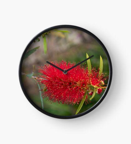 Calistamon Red Clock