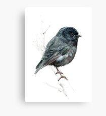 The Black Robin, New Zealand native bird Canvas Print