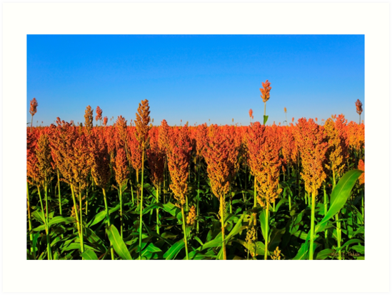 Fields Of Sorghum At Sunset by Mark Tisdale