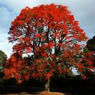Illawarra Flame Tree - South Rd, Drouin by Bev Pascoe