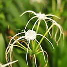 Spider Lilly by Ian Mitchell