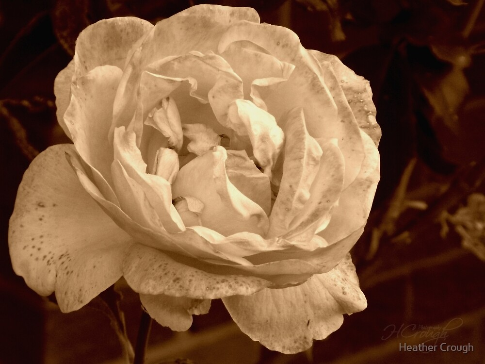 Sweet Sepia Rose by Heather Crough