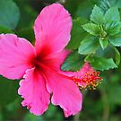 Pink Hibiscus by Chet  King