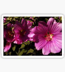 Lavatera - A Study in Pink Sticker