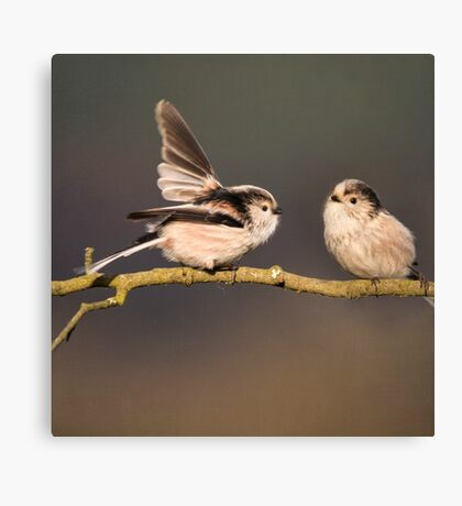 Long-tailed tits Canvas Print
