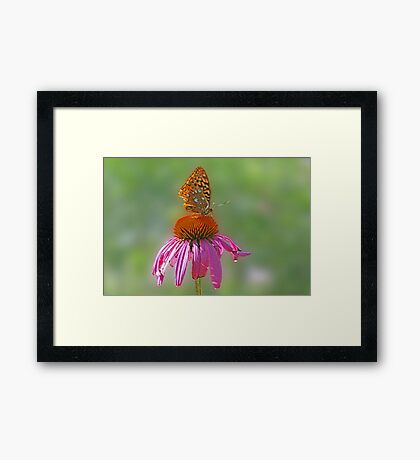 Coneflower and Butterfly Framed Print