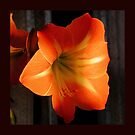 Gold Amaryllis by Barry Doherty