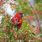 Rosella among the Christmas Bush by Dilshara Hill