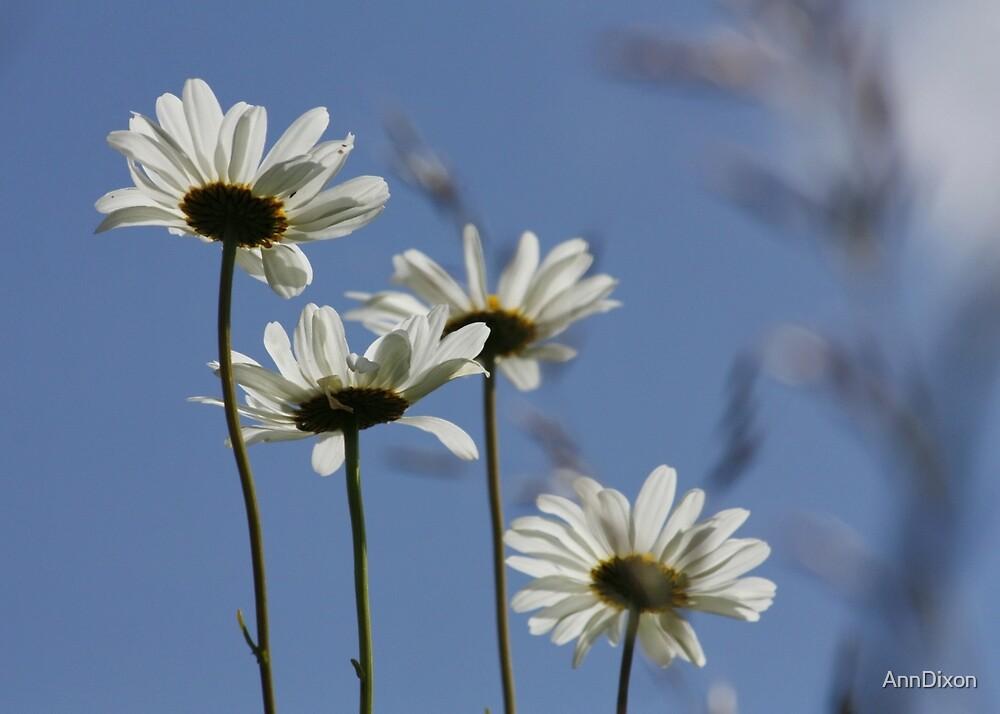 Daisy Daisy by AnnDixon