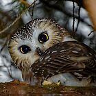 Northern Saw-whet Owl in a Tree by AriasPhotos