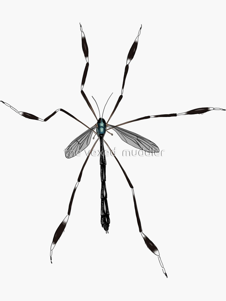 Phantom crane fly - Bittacomorpha clavipes by thevexedmuddler