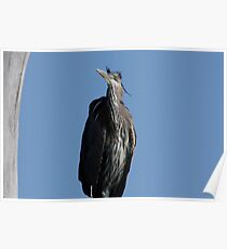 Great Blue Heron #1  Poster