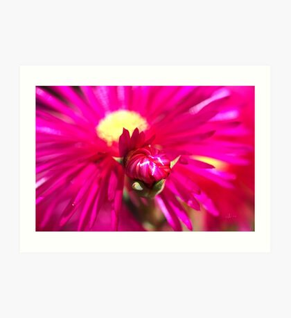 Hot Pink Ice Plant/Pigface Flower Art Print