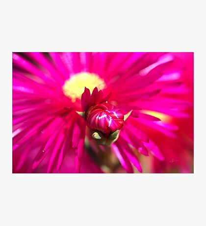 Hot Pink Ice Plant/Pigface Flower Photographic Print