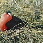 Red-Breasted Frigate by Darren Freak