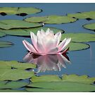 Watel lily and reflection by Shaun Swanepoel