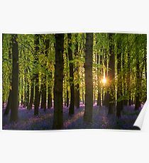Low Sun in the Bluebell Wood Poster