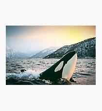 Lámina fotográfica Orca - Tysfjord, Noruega