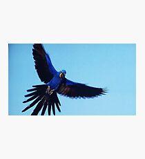 Blue McCaw Photographic Print