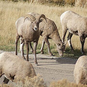 Bighorn Sheep II by DanielleDodds