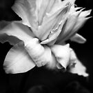 Artic Queen - Clematis 03 - Black and White Photography by PB-SecretGarden