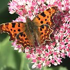 Comma Butterfly by dilouise