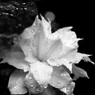 Artic Queen - Clematis 06 - Black and White Photography by PB-SecretGarden