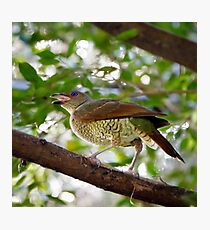 Satin Bower Bird Photographic Print