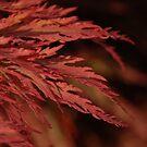 Japanese Maple by Heather Thorsen