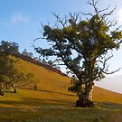 Roadside tree, Wilpena, South Australia. by johnrf