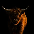 Lowlight Highland Cattle by George Wheelhouse