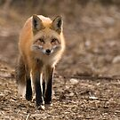 Fox approaching by Eivor Kuchta