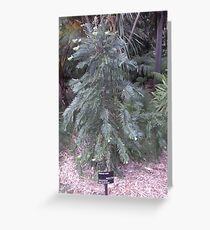 Wollemi Pine -  Greeting Card