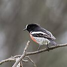 Scarlet Robin at the You Yangs by John Sharp
