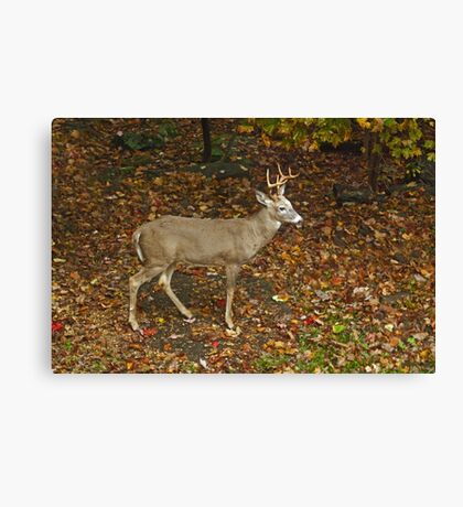 Whitetail Deer - Buck - Odocoileus virginianus - Autumn Canvas Print