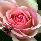 Pink Perfection by ienemien