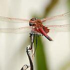 Common-glider Dragonfly by Darren Freak