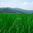 Summer Rice Fields in Gyeonggi Province, South Korea by koreanrooftop