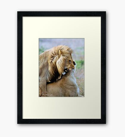 WILDLIFE WAYS - THE LION – Panthera leo Framed Print