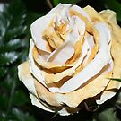 Old white rose by MariaNikelova