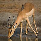Impala by Erik Schlogl
