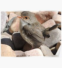 Backyard Birdie Poster