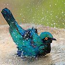 It is such fun taking a bath! by Anthony Goldman