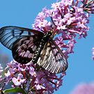 Glasswing Butterfly, Acraea andromacha 2. by Trish Meyer