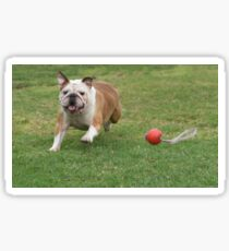 English Bulldog running and playing on the lawn  Sticker