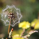 Lactuca serriola ~ Prickly Lettuce Wildflower seed head by Jan  Tribe