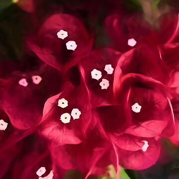 Red Bougainvillea Flowers by JohnCorney